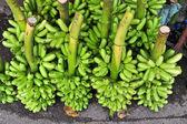 Bunch of green banana on floor — Stock Photo