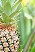 A baby pineapple in the farm — Foto Stock
