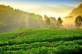 Strawberry farm in chiangmai, thailand — Stock Photo