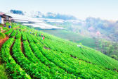 Beautiful landscape and fresh strawberries farm at doi angkhang  — Stock Photo