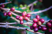 Coffee beans ripening on tree in North of thailand — Stock Photo