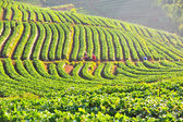 Strawberry farm on Doi Angkhang mountain, Chiang Mai, Thailand  — Stock Photo