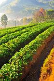 Bela paisagem e fazenda de morangos frescos no inverno no chi — Fotografia Stock