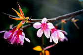 Thai sakura blooming in winter, North of Thailand  — Stock Photo