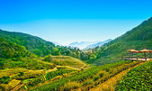 Tea plantation at doi Ang khang , Chiang mai ,Thailand  — Stock Photo