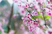 Cherry blossom or sakura flowers on Doi angkhang mountain chiang — Stock Photo