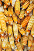 Golden corn cobs hanging to dry — Stock Photo