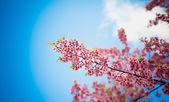 Himalayan Cherry (Prunus cerasoides) blooming at pang khon    mo — ストック写真