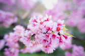 Himalayan Cherry (Prunus cerasoides) blooming at pang khon    mo — ストック写真