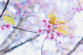 Sakura flower blooming blossom in Pangkhon mountain Chiang rai,  — ストック写真