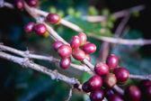 Grãos de café que amadurecem na árvore no norte da tailândia — Fotografia Stock