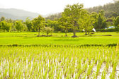 Green rice fields in Thailand — Stock Photo