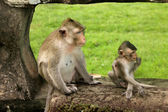 Monkeys — Foto de Stock
