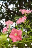 Pink petunia in the garden. — Photo