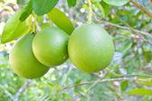 Grüne Grapefruit auf Baum wächst. — Stockfoto