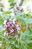 The fresh organic sweet basil bunch. — Stock Photo