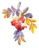 Red Rowan Berries, Twig — Stock Photo