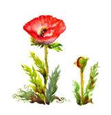 Papoila vermelha — Foto Stock