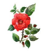 Rote rose. — Stockfoto