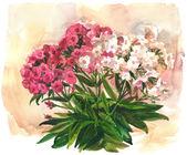 Watercolor Phlox — Stock Photo