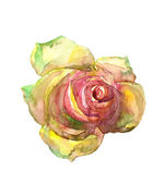 Rose. — Stock Photo