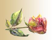 Rose. — Stok fotoğraf