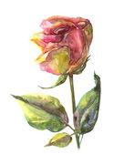 Rosa. — Foto de Stock