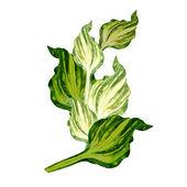 Host Green Leaves — Stock Photo