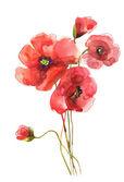 罂粟花朵 — 图库照片