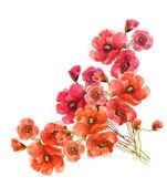 Flores de papoulas — Foto Stock