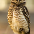 Owl looking attentive — Stock Photo