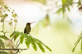 Hummingbird standing on a branch — 图库照片