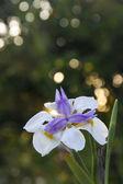 Colorful iris — Stock Photo