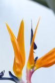 Vreemde rode en blauwe bloem met groen blad — Stockfoto