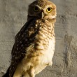 Stock Photo: Owl looking attentively
