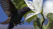 Sinek kuşu — Stok fotoğraf