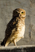 Owl looking attentively — Stock Photo