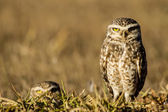 Owls looking to the camera — Stock Photo