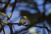 Yellow and brown small bird — Stock Photo