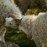������, ������: Fighting goats