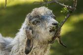 Eating goat — Stock Photo