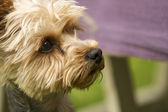 Yorkshire terrier dog outside — Stock Photo