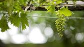 Groene druiven op een regenachtige dag — Stockfoto