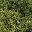 Stock Photo: Conifer plant texture