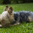 Yorkshire terrier — Stock Photo #39351367