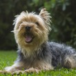 Yorkshire terrier — Stock Photo #39351377