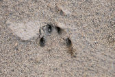 Pawprints on the ground — Stock Photo