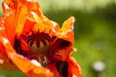Field of poppy flowers — Stock Photo
