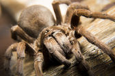 Tarantula spider — Stock Photo