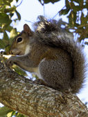 Profile of a Squirrel — Stock Photo